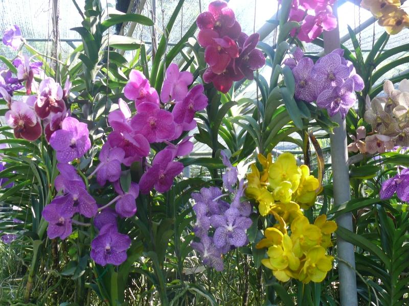 Chiang mai coltivazione di orchidee - Orchidee da esterno ...
