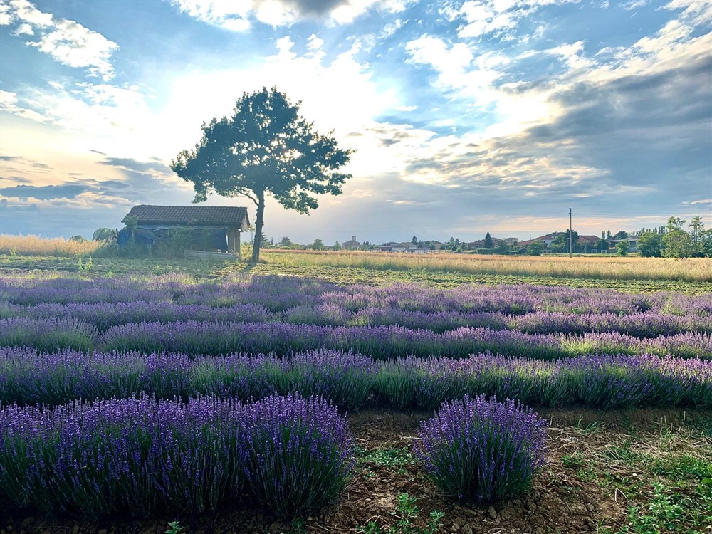 Piemonte color lavanda, una passeggiata tra il Monferrato e l'Alessandrino: profumi e colori. Colline, borghi, pievi e castelli, per godere momenti di puro benessere per gli occhi e la mente